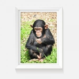 wildlife image of a baby chimpanzee