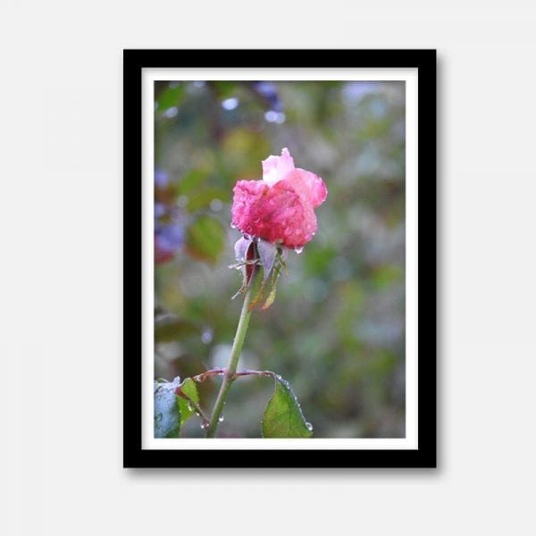 indoor art artwork framed unframed rose
