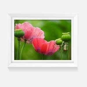 Indoor art artwork pink poppies print canvas