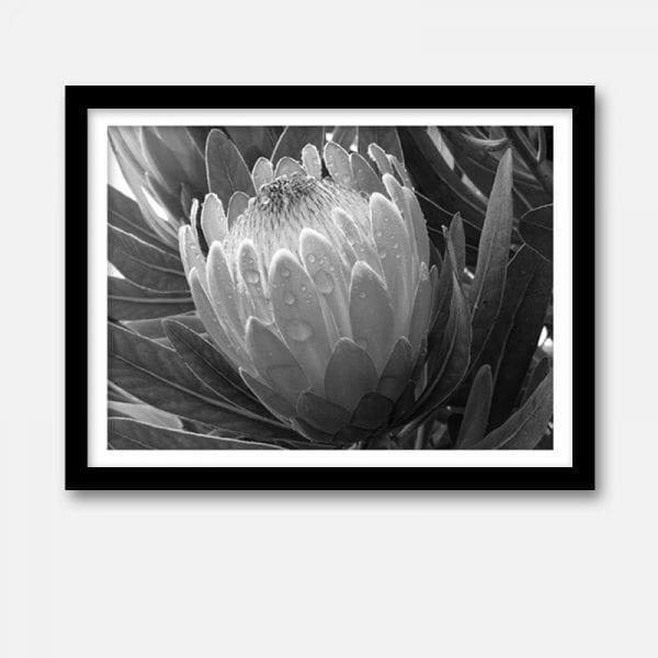 Indoor artwork print black white protea